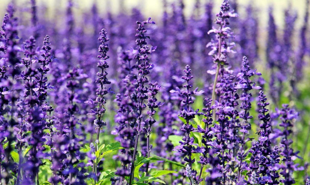 Lavendelöl als Hausmittel gegen Fliegen