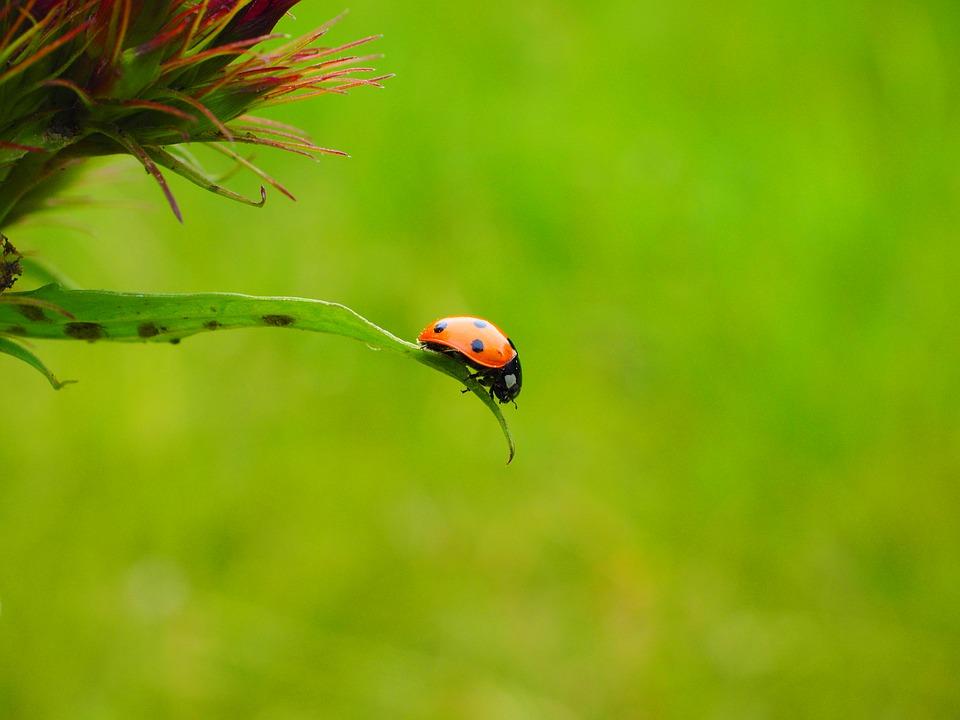 Marienkäfer gehören zu den klassischen Nutzinsekten – mit ihren Vor- und Nachteilen