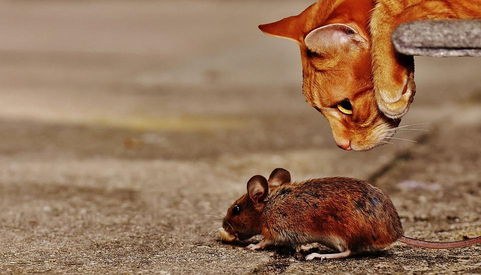 Bekannte Hausmittel gegen die Maus sind Minze, Chilischoten oder eben die Katze.