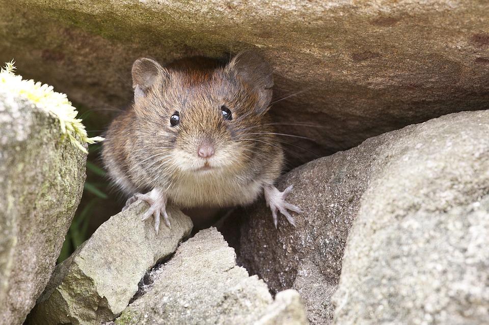 Maus zwischen Steinen