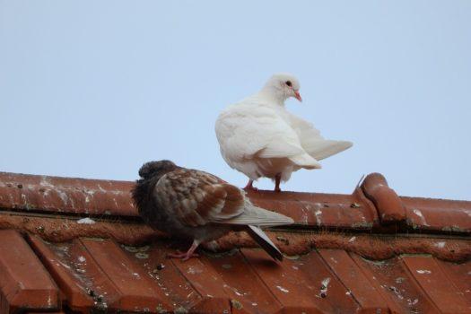 vogelkot-auf-dem-dach