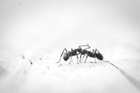 hausmittel-gegen-ameisen