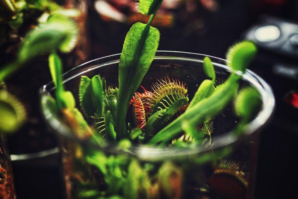 natuerliche-fliegenfalle-pflanze