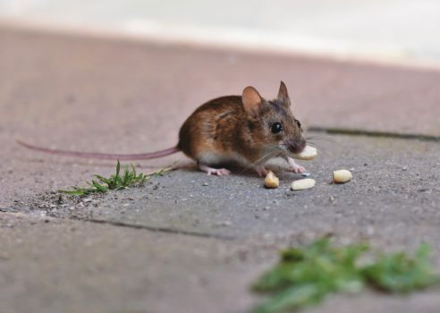 Eine Maus, welche in das Haus eindringt kann schnell Mäuseurin überall verteilen.